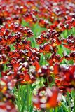 Dark red tulips in the park. Dark red tulips grow in the spring park Stock Photography