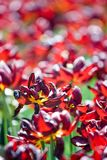 Dark red tulips in the park. Dark red tulips grow in the spring park Stock Image