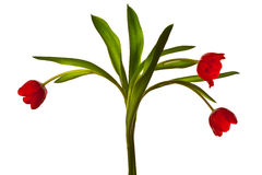Dark Red Tulips on White Background Stock Photography