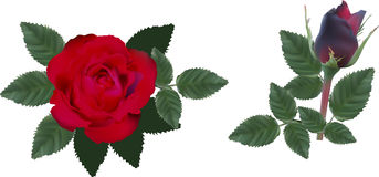 Dark red two  roses with leaves Stock Photos