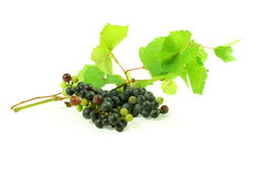 Dark red wine grape bunch with leaves in white background Royalty Free Stock Image