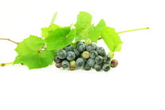 Dark red wine grape bunch with leaves in white background Royalty Free Stock Photo