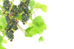 Dark red wine grape bunch with leaves in white background Royalty Free Stock Images
