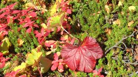 Dark red and yellow leaves of the cloudberry are shaking in the   wind. stock video footage