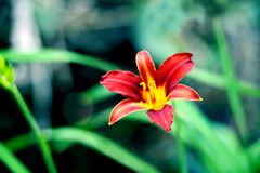 A dark red yellow lily Stock Photography