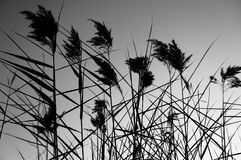 Dark Reeds Stock Photos