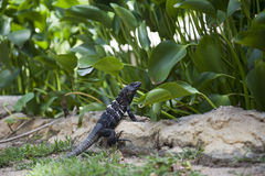 Dark Reptile Stock Photography