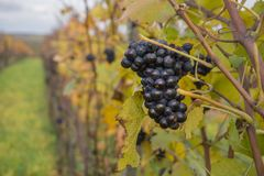 Dark ripe vines closeup in autumn stock photos