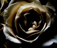 Dark rose. Seen from above Royalty Free Stock Images