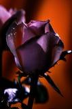 Dark rose. royalty free stock image