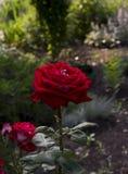 Dark rose in the garden stock image