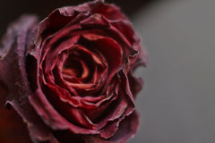 Dark rose Stock Photos