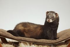 Dark sable color ferret male staying on sofa in studio royalty free stock photography