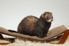 Dark sable color ferret male staying on sofa in studio stock photo