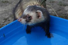 Dark sable hob ferrets at play. Dark sable course hob male ferrets at play stock photography