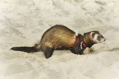 Dark ferret portrait in lazy beach style stock images