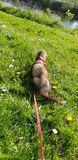 Dark sable hob ferret walking in the park Dumfries. Dumfriesshire Scotland royalty free stock images