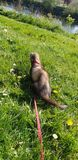 Dark sable hob ferret walking in the park Dumfries. Dumfriesshire Scotland royalty free stock photography