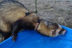 Dark sable hob ferrets at play. Dark sable course hob male ferrets at play royalty free stock photo