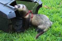 Dark sable hob ferrets at play. Dark sable course hob male ferrets at play royalty free stock images