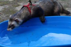 Dark sable hob ferrets at play. Dark sable course hob male ferrets at play stock photos