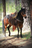 Dark Saddle Horse Tied to Tree. A dark saddled horse wearing a halter and breast collar stands quietly tied to a large tree in the forest. Shallow depth of field Royalty Free Stock Photo