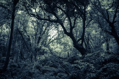 Dark Sasseto woods infested by ghosts Stock Images