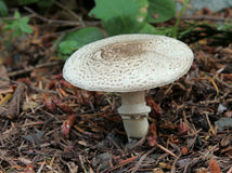 Dark-scaled Mushroom - Agaricus moelleri Stock Image