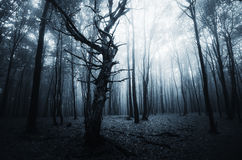 Dark scary mysterious forest with fog on Halloween Stock Photos