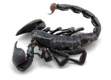 Dark scorpion Stock Images