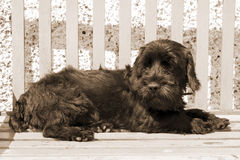 Dark Scottish Terrier lazing on a bench Stock Images