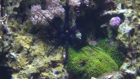 Dark sea urchin floating under water 4K video. Clip stock video footage