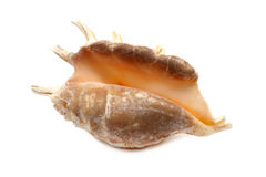 Dark Seashell Royalty Free Stock Image