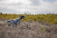 Dark setter running Royalty Free Stock Photography