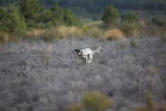 Dark setter running over burnt ground Royalty Free Stock Photo