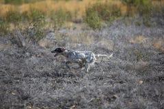 Dark setter running over burnt ground Royalty Free Stock Images