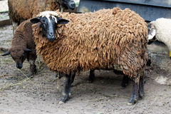 Dark sheep Stock Photo