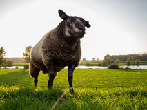 Dark sheep on hill Stock Photos