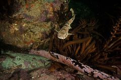 Dark shyshark, haploblepharus pictus, puffer shark, South Africa. Sea, ocean, kelp Royalty Free Stock Photos