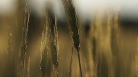 Dark sick crops, plant diseases lead to poor harvest, food crisis, closeup