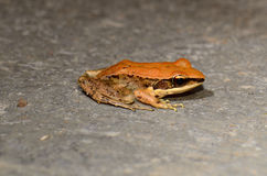 Dark-sided Frog (Rana nigrovittata) Stock Photo