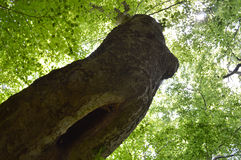 Dark Silhouette of Nude Wood-Nymph. Backlit bent beech tree with green crown resembling nude female body Stock Images