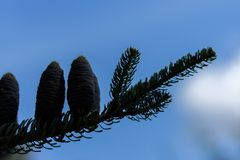 Free Dark Silhouette Of Alpine Abies Lasiocarpa Evergreen Coniferous Tree With Blue Cones Against A Bright Blue Sky. Twilight Pine Royalty Free Stock Image - 159526586
