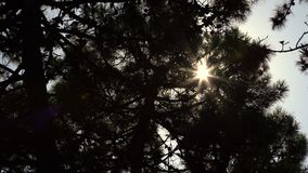 Dark silhouettes of pine trees on sunny day low angle shot. Dark silhouettes of pine tree branches against clear sky at bright sun backlight on nice day low stock footage