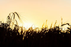 Dark silhouettes of rye spikelets Royalty Free Stock Photography