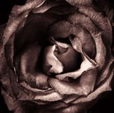A dark single sepia toned rose with back background. Full frame royalty free stock image