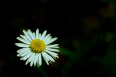 Dark Sinister Daisy close-up. stock images