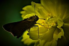 Dark Skipper Butterfly yearns for light and colour. Taken to emphasise the sharp colour contrast between the Dark Skipper buttefly and the tropical flowers it Stock Photo