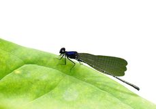 Dark small dragonfly Royalty Free Stock Image