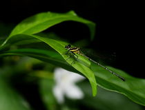 Dark small dragonfly Stock Photography